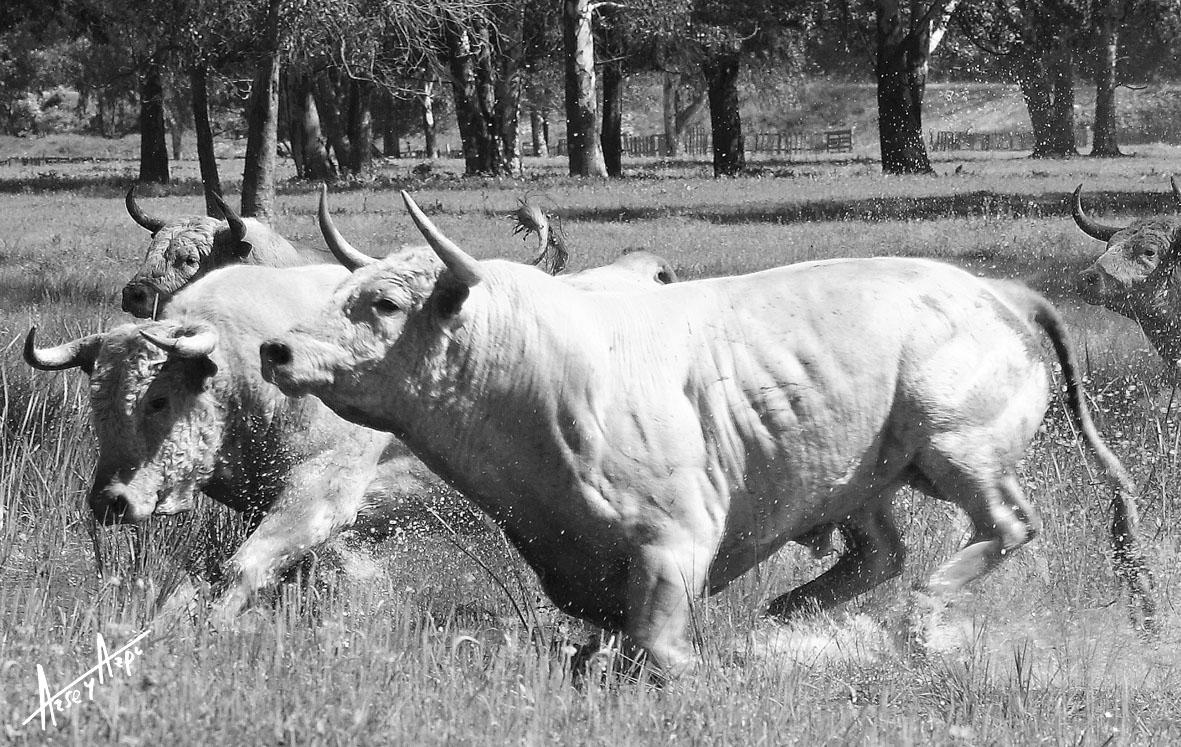Imagen de una manada trotando por la dehesa encharcada, demostrando poderío y belleza